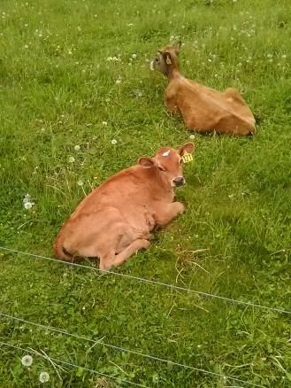 calf 2