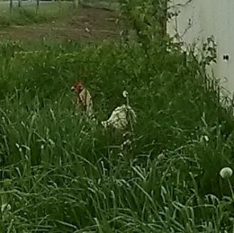 chickens hiding